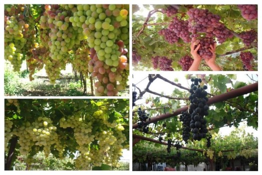Grapes-Farms