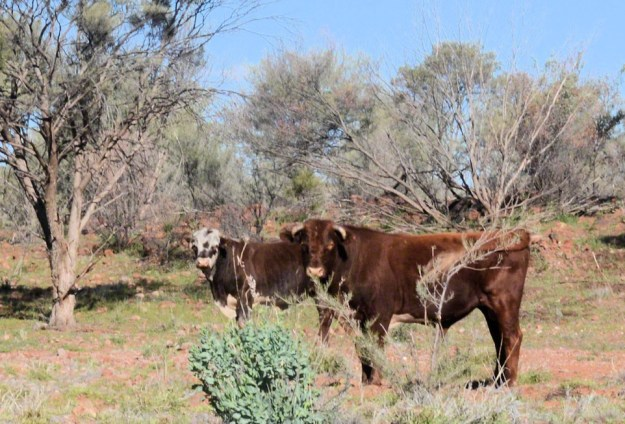 beef cattle 2-near gosses