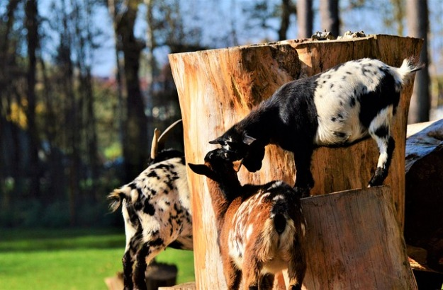 "three goats playing ""King of the mountain"" on an old large tree stump"