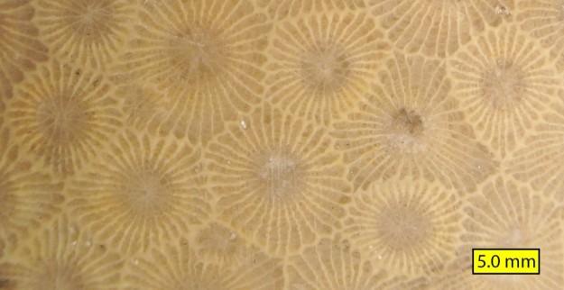 close up of the petoskey stone pattern
