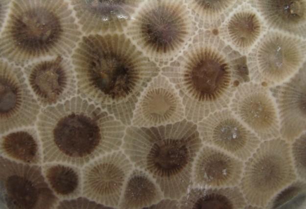 close up of a petoskey stone