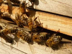 bees entering a beebox