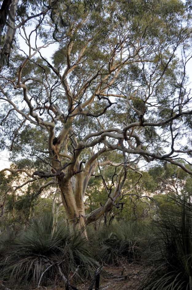 P15-KSNatPk Tree studycp